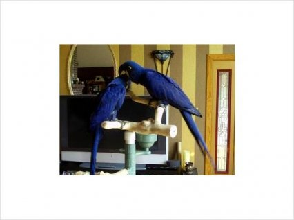 Hyacinth MACAW PROVEN PAIRS FOR RE-HOMING 2