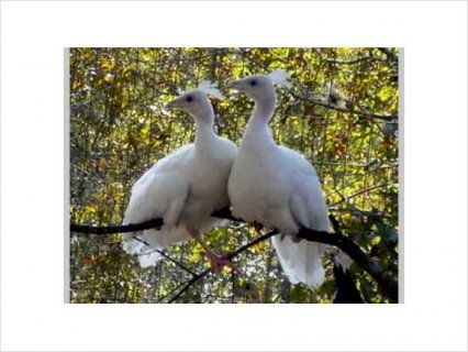 White BABY PEACOCKS (PEACHICKS) FOR SALE- WILL SHIP23
