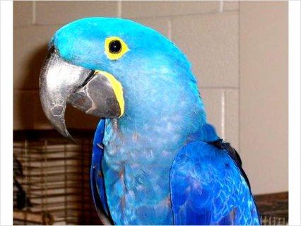 Blue Hyacinth Macaw4