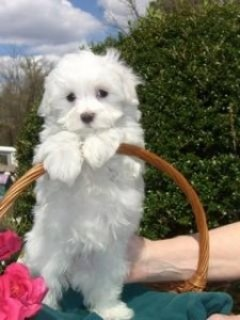 Sweet Teacup Maltese Puppies