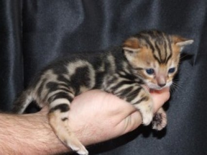 male and female Bengal kitten for adoption.