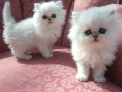 Two lovely White Persians for you