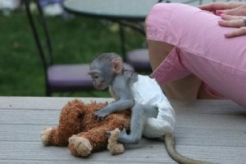 Capuchin Monkey Available