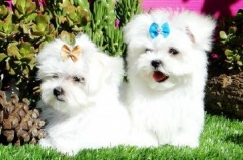 TWO LOVELY MALTESE PUPPIES FOR NEW YEAR GIFT!!!!!!!!!