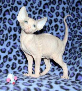 Absolutely Beautiful Female TICA Sphynx Kitten