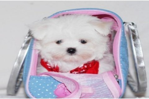 Beautiful Registered Maltese Puppies