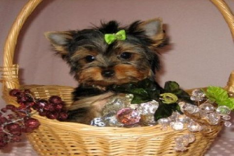 صور Tiny Teacup Yorkie Puppy 1