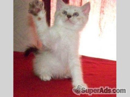 Himalayan kittens ready soon