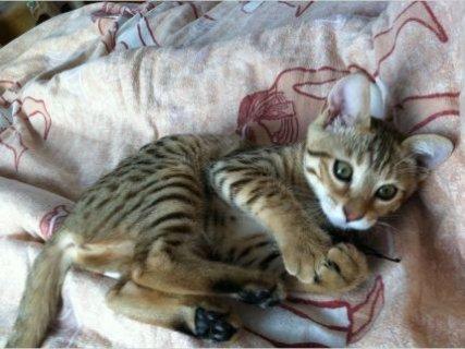 Gorgeous Bengal Kittens