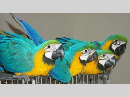 صور well trained macaw parrot for sale  1