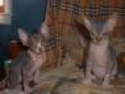 2 Lovely Sphynx Kittens for adoption