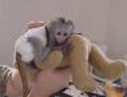 صور Cute lovely male and female Capuchin monkeys for adoption 1