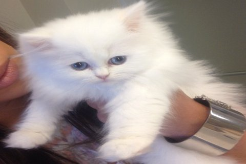 Adorable Teacup Persian Kittens for Rehoming