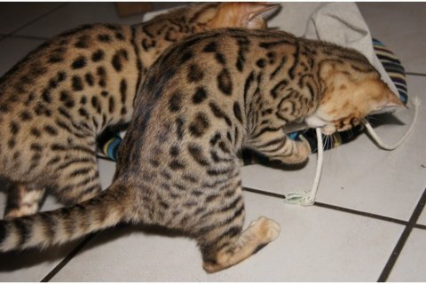 Playful and vaccinated Bengal Kitten for sale