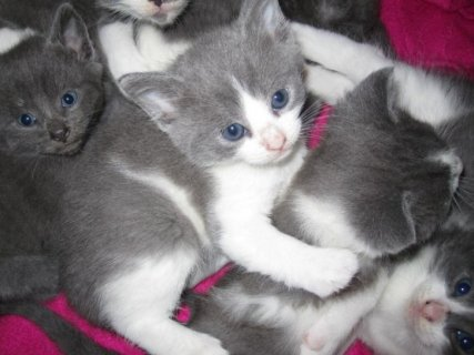 British shortharir kittens for adoption