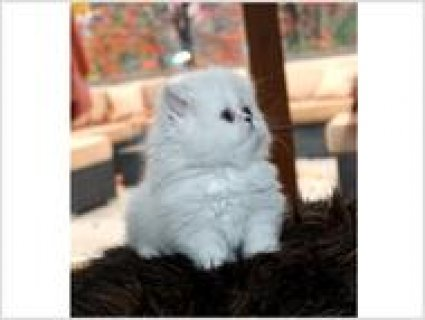 2 Beautiful Blue Point Baby Boy and Girl Himalayan Persian Kitte