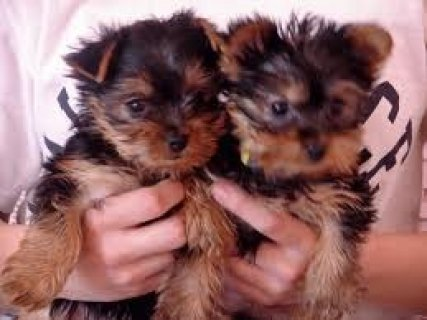 صور Male and Female Teacup Yorkshire Terrier puppies for Free 1