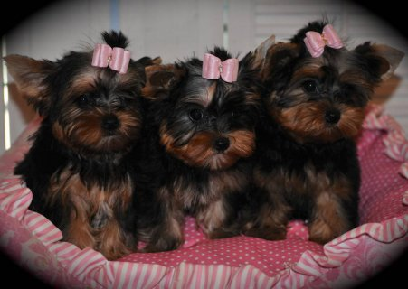 صور Adorable AKC Yorkie Female Puppies for sale 1