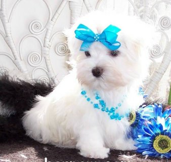 Adorable Maltese puppies for Adoption