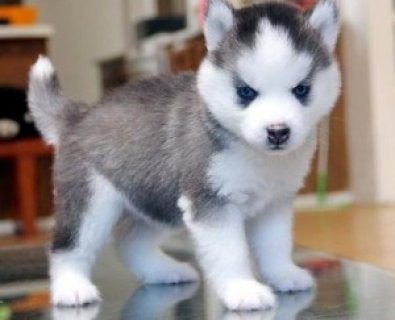 Huskies Puppies Available Now