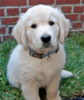 Beautiful Golden Retriever Puppies