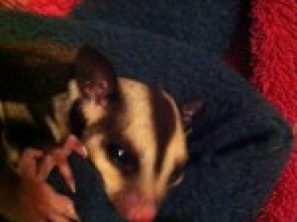 Twin Baby Boy  and Girl Sugar Gliders Ready To Reserve Now