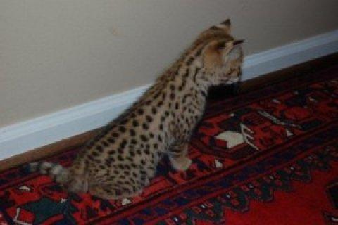 F2 Savannah kitten BIG PAWS!!