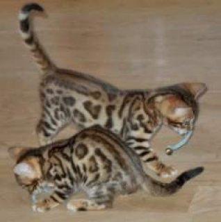 TICA reg. Bengal Kittens