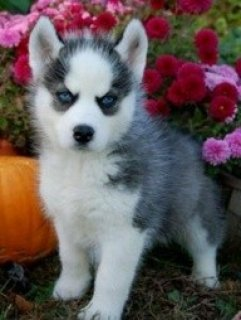 AVAILABLE NOW BEAUTIFUL SIBERIAN HUSKIES PUPPIES FOR FREE ADOPTI