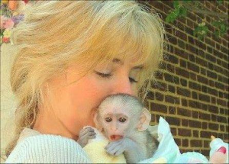 Cutest Capuchin monkeys for sale بيروت - 2737
