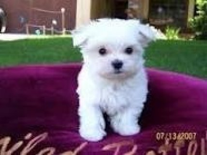 Cute Male and Female Maltese Puppies