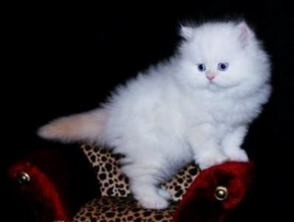 Teacup Persian Kittens For Exmass