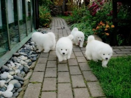 صور Exmass Purebred Samoyed Puppies for Adoption 1