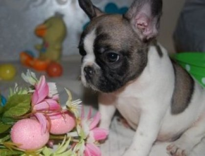 Beautiful French Bulldogs