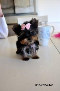Micro Tiny Teacup Yorkie Puppy Boy