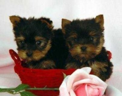 صور Yorkie Puppies Available for Adoption 1