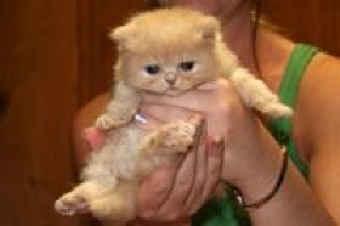 صور Lovely persian Kittens Babies for 1
