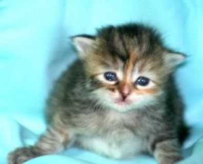 GORGEOUS SIBERIAN KITTENS FOR A LOVELY HOME!!