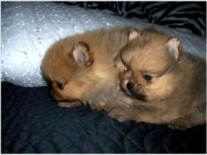 Akc Reg Pomeranian puppies