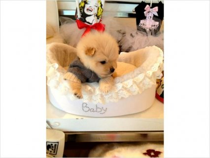 Male And Female Adorable AKC Pomeranian Puppies