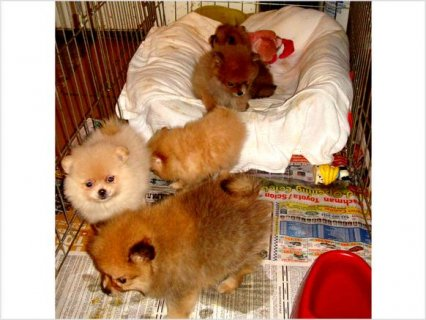 Two Tiny Micro Pomeranian Puppies Available