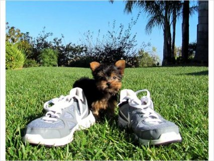 Beautiful teacup yorkie for free adoption