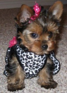 Lovely Teacup Yorkie
