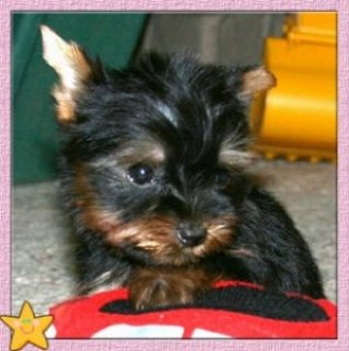 Adorable Teacup Yorkie for adoption Teacup Yorkie Available for