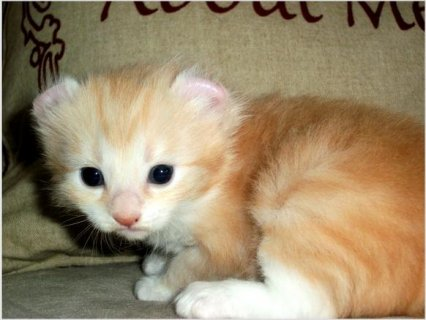 American Curl kittens available!!!