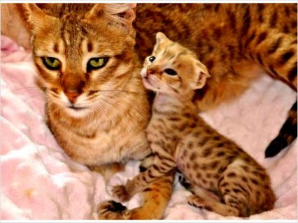 Shining savannah kittens