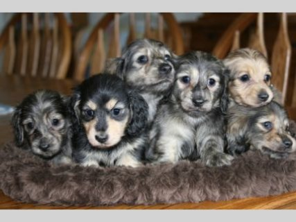 AKC Longhair English Cream Dachshunds