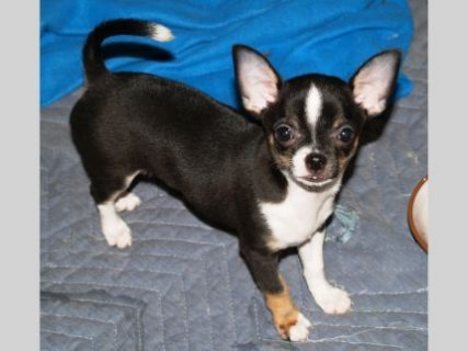 chihuahua puppyee