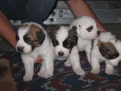 A.K.C. Saint Bernard Puppies