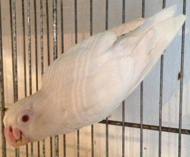 READY TO BREED FEMALE ALBINO FISCHER LOVEBIRD